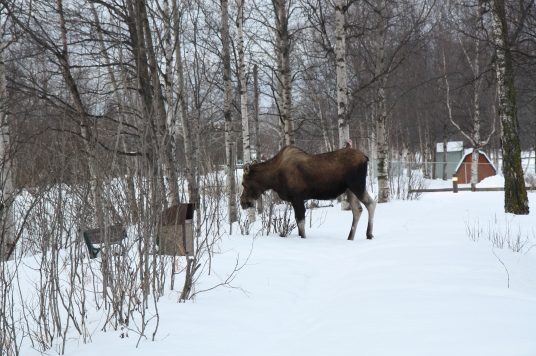 My first siting of a moose (from Breakfast table)